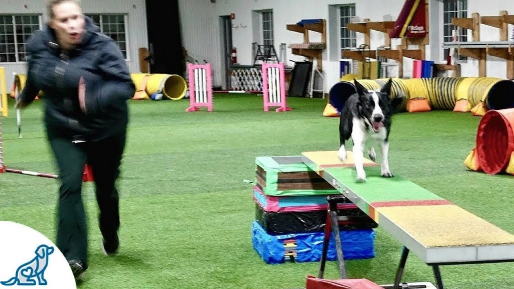 Agility Training Dogs